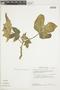 Cnidoscolus urens (L.) Arthur, PERU, F