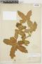 Cnidoscolus urens (L.) Arthur, BRAZIL, F