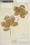 Cnidoscolus urens (L.) Arthur, COLOMBIA, F