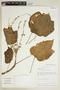Croton chocoanus Croizat, Colombia, T. B. Croat 56079, F
