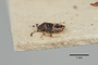 2819218 Polylobus semiopacus ST p IN