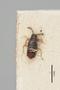 2819218 Polylobus semiopacus ST d IN