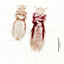 29916 Fahrenholzia fairchildi PT d IN