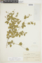 Croton glechomifolius Müll. Arg., BRAZIL, F