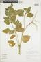 Croton hirtus L'Hér., BRAZIL, F