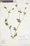 Croton hirtus L'Hér., PERU, F