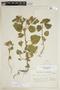 Croton hirtus L'Hér., ARGENTINA, F