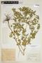 Croton hirtus L'Hér., COLOMBIA, F