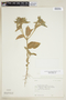 Croton hirtus L'Hér., BOLIVIA, F