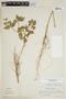 Croton hirtus L'Hér., SURINAME, F