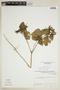 Croton hirtus L'Hér., VENEZUELA, F