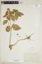 Croton hirtus L'Hér., ECUADOR, F