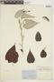 Croton niveus Jacq., COLOMBIA, F