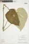 Croton palanostigma Klotzsch, BOLIVIA, F