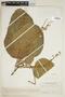 Croton palanostigma Klotzsch, VENEZUELA, F
