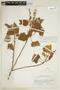 Croton palanostigma Klotzsch, COLOMBIA, F