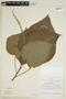 Croton palanostigma Klotzsch, PERU, F