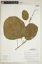 Croton palanostigma Klotzsch, BRAZIL, F