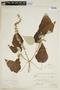 Croton pilulifer Rusby, BOLIVIA, F