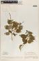 Croton rhamnifolius image