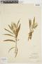 Croton scouleri image