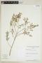 Croton subcinerellus Croizat, PARAGUAY, F