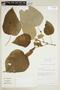 Croton pilulifer Rusby, Bolivia, J. C. Solomon 10549, F
