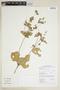 Croton hirtus L'Hér., GUYANA, M. J. Jansen-Jacobs 4451, F