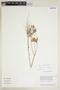 Croton hirtus L'Hér., Guyana, B. Hoffman 3654, F