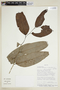 Drypetes amazonica var. peruviana J. F. Macbr., BOLIVIA, F