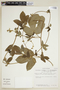 Dalechampia scandens var. pernambucensis (Baill.) Pax & K. Hoffm., BRAZIL, F