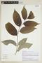 Drypetes amazonica var. peruviana J. F. Macbr., PERU, F