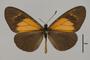 124145 Actinote alcione ssp d IN