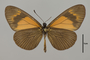 124145 Actinote alcione ssp v IN