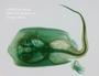 FMNH_62371_Urotrygon chilensis_c & s left dorsal view_FZ_jpg