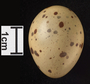 Sora egg FMNH