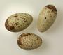 Scarlet Ibis egg