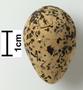 Kentish Plover egg