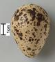 Willet egg FMNH