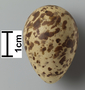 Dunlin egg FMNH