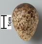 Broad-billed Sandpiper egg