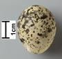 Black-winged Pratincole egg