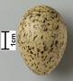 Forster's Tern egg