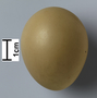 Ring-necked Pheasant egg