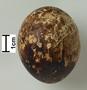 European Honey-Buzzard egg