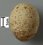 Eleonora's Falcon egg
