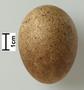 Prairie Falcon egg