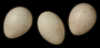 Red-legged Seriema egg