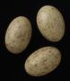 Black-bellied Sandgrouse egg
