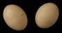 Ruddy Quail-Dove egg